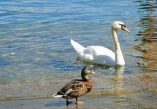 Der die Schweiz-Schwan auf dem See lizenzfreie stockfotos