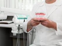 Der Doktor hält ein Modell der Zähne und des Zahnfleischs des Menschen stockbild