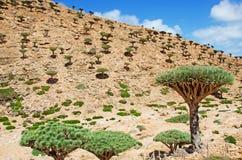 Der Dragon Bottle-Baumwald im Schutzgebiet von Homhil-Hochebene, Socotrainsel, der Jemen Lizenzfreie Stockfotografie