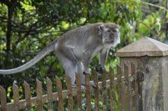 Der durchdachte Affe, der auf einem Zaun sitzt, schaut weg Lizenzfreie Stockfotos