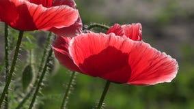 Der durchschnittliche Plan mit Hummel und Biene Attraktive, helle, rote Farbe stock footage
