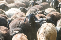 Der ein Kopf des Schafs in einer Menge Lizenzfreies Stockfoto
