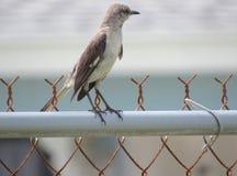 Der Eingeborener Thrasher-Vogel berücksichtigt immer seine Umgebungen sehr  lizenzfreie stockfotografie