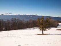 Der einsame Baum, der mit Mistelzweig bedeckt wird, steht in einer Reinigung Lizenzfreies Stockbild