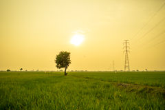 Der einsame Baum zwischen dem Reisfeld Stockbilder