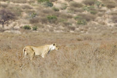 Der einzelne weibliche Löwe, der herein geht, scheuern Vegetation Lizenzfreie Stockfotografie