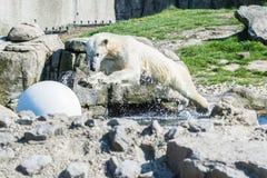 Der Eisbär springend in Wasser stockfotos
