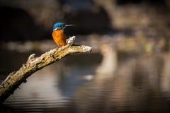 Der Eisvogel genießen Sonnenlicht und anziehende Fische lizenzfreies stockfoto