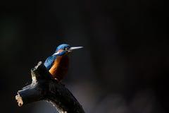 Der Eisvogel genießen Sonnenlicht und anziehende Fische stockfotografie