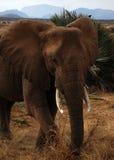 Der Elefant lizenzfreie stockfotografie