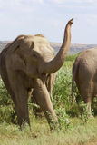 Der Elefant auf dem Grasland Stockfotografie