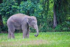 Der Elefant, der auf einem grünen Reisgebiet geht, zeigen Fähigkeit des Elefantstands auf schmaler Kante lizenzfreie stockfotografie