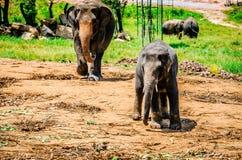 Der Elefant geht nach seinem Jungen in der Pinnawela-Kindertagesstätte Sri Lanka stockfotografie