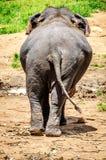 Der Elefant im Pinnawala-Elefant-Waisenhaus drehte seine Beute zur Kamera und ging spazieren stockfoto