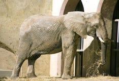 Der Elefant ist pflanzenfressende Symbolstoßzähne Safari Africa India Stockfotos