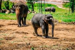 Der Elefant und seine Mutter gehen in die Pinnawela-Kindertagesstätte Sri Lanka lizenzfreies stockfoto
