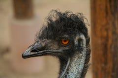 Der Emu-Vogel, von Australien lizenzfreie stockfotografie