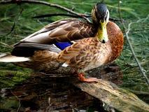 Der Entenbeobachter Stockbild