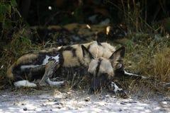 Der entscheidende afrikanische Jäger Lizenzfreie Stockfotografie