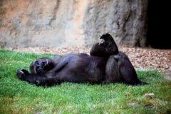 Der entspannende Gorilla und genießt, auf dem Gras zu liegen stockbild