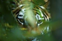 Der erstaunlich schöne Amur-Tigerabschluß oben durch die Blätter Stockfoto