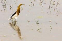 der erstaunliche Javan-Teich-Reiher (Ardeola-speciosa) Stockfotos