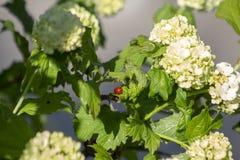 Der erste Frühlingsmarienkäfer stockbild