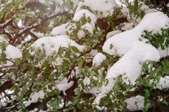 Der erste Schnee auf den grünen Blättern eines Baums Stockbilder