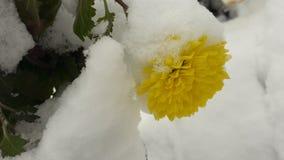 Der erste Schnee fiel auf eine gelbe Blume lizenzfreie stockbilder