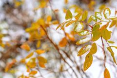 Der erste Schnee liegt auf den gelben und roten Blättern lizenzfreie stockfotos