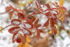 Der erste Schnee liegt auf den gelben und roten Blättern lizenzfreies stockfoto