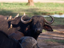Der erwachsene Büffel sitzen vier Vögel Stockbild