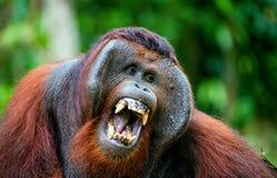 Der erwachsene Mann des Orang-Utans Das Orang-Utan Gegähne, nachdem weit einen Mund geöffnet habend und gezeigt Eckzähne Lizenzfreies Stockfoto