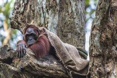 Der erwachsene Mann des Orang-Utans in der wilden Natur Insel getragen Stockbild