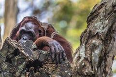 Der erwachsene Mann des Orang-Utans in der wilden Natur Insel getragen Stockfotografie