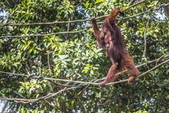 Der erwachsene Mann des Orang-Utans in der wilden Natur Insel getragen Stockfotos