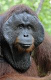 Der erwachsene Mann des Orang-Utans im Busch Erwachsener Mann des Orang-Utans in der wilden Natur Stockfotografie