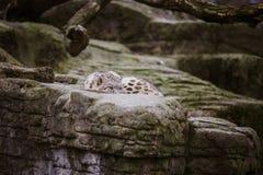 Der erwachsene Schneeleopard liegt auf einem großen Felsen und betrachtet aufmerksam und Alarm dem Basel-Zoo in der Schweiz Wolki Lizenzfreie Stockfotos
