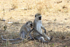 Der erwachsene Vervet-Affe Stockbild