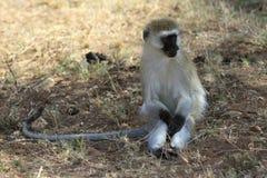 Der erwachsene Vervet-Affe Stockfotografie