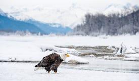 Der erwachsene Weißkopfseeadler auf dem Schnee Stockfotos
