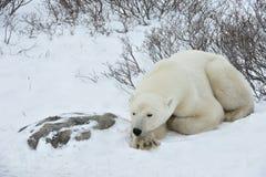 Der erwachsener Manneseisbär (Ursus maritimus) haben einen Rest und liegen auf Schnee stockfotos