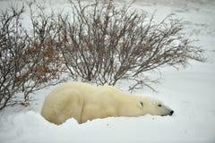 Der erwachsener Manneseisbär (Ursus maritimus) haben einen Rest und liegen auf Schnee stockfotografie