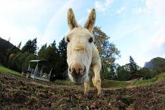 Der Esel Stockfoto