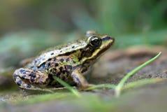 Der essbare Frosch. Flache Schärfentiefe Stockfotografie