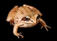 Der europäische gemeine Brown-Frosch Stockbild