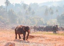 Der Führer Elephant in Pinnawala Stockbilder