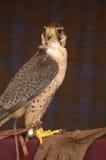 Der Falke Stockfoto