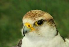 Der Falke Lizenzfreie Stockbilder