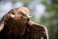 Der Falke Stockbild